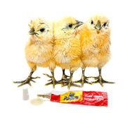 sticky-situation-funny-chicks-image-image-course-staged-31149399